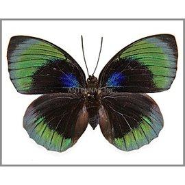Nymphalidae Agrias beatifica beata (staudingeri) F A1 Peru