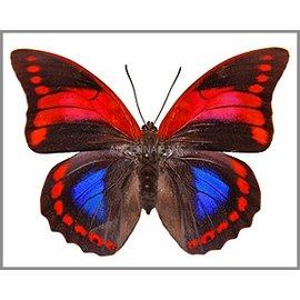 Nymphalidae Prepona praeneste confusa F A1 Peru