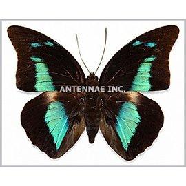 Nymphalidae Prepona (Archeoprepona) demophon muson M A1 Bolivia