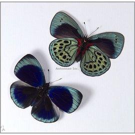 Nymphalidae Asterope leprieuri leprieuri F A1 Peru