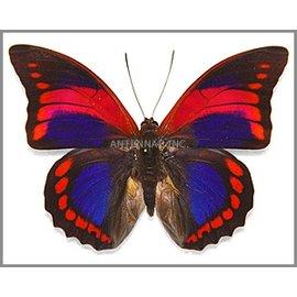 Nymphalidae Prepona praeneste confusa M A1 Peru