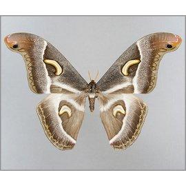 Saturnidae Epiphora ploetzi M A1- Cameroon