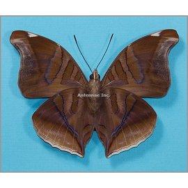 Nymphalidae Historis odius orion M A1 Peru