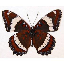 Nymphalidae Limenitis arthemis rubrofasciata M A1/A1- Canada