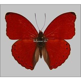 Nymphalidae Cymothoe sangaris M A1- RCA