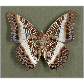 Nymphalidae Charaxes brutus angustus M A1 RCA