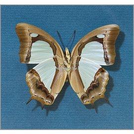 Nymphalidae Polyura athamas athamas PAIR A1 Indonesia