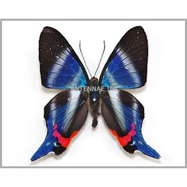 Riodinidae Rhetus periander / R. dysonii M A1 Bolivia