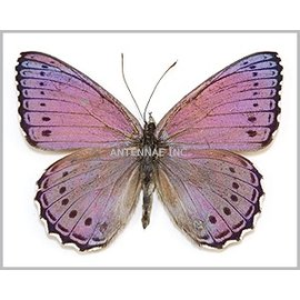 Nymphalidae Sallya pechueli M A1- RCA