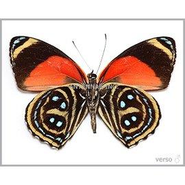 Nymphalidae Callicore maimuna M A1 Peru