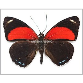 Nymphalidae Callicore cyllene cyllene M A1 Peru