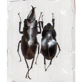 Lucanidae Prosopocoilus inclinatus kina PAIR A1 South Korea 3.5-3.8 cm