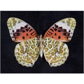 Nymphalidae Argyreus hyperbius inconstans M A1 PNG