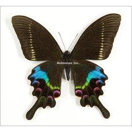 Papilionidae Papilio krishna charlesi M A1 China