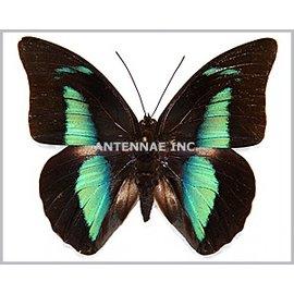 Nymphalidae Prepona (Archeoprepona) amphimachus symaithus M A1 Bolivia