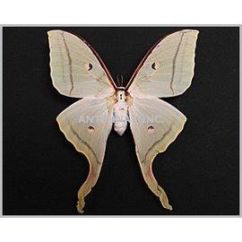 Saturnidae Actias selene F A1- China