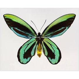 Ornithoptera and Trogonoptera Ornithoptera alexandrae PAIR PNG