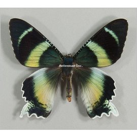 Uraniidae Alcides zodiacus M A1 Indonesia
