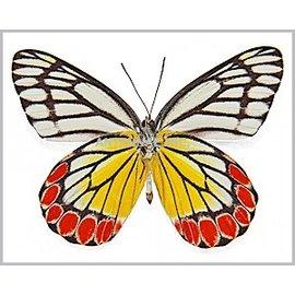 Pieridae Delias eucharis M A2 India