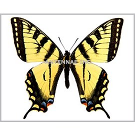 Papilionidae Papilio canadensis M A1/A1- Canada