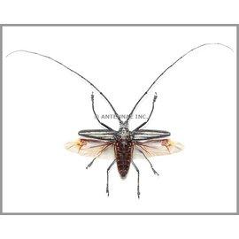 Cerambycidae Batocera lamondi PAIR A1 6.75-7.25 cm Solomon Islands