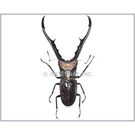 Lucanidae Cyclommatus metallifer finae M A1 Peleng Island _ Indonesia 7.5-7.9 cm