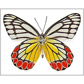 Pieridae Delias eucharis F A1- India