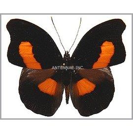 Nymphalidae Catonephele acontius acontius M A1/A1- Bolivia