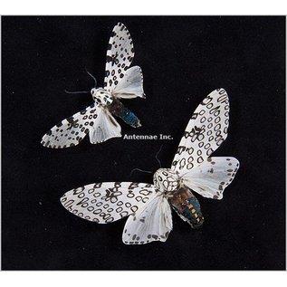 Butterfly Art Giant Leopard Moths