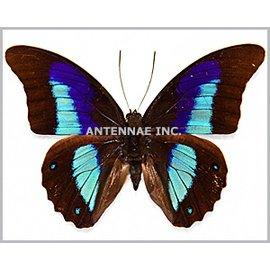 Nymphalidae Prepona (Archeoprepona) pseudomphale (=lilianae) M A1- Peru