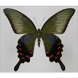 Papilionidae Papilio bianor coreanus F A1 South Korea