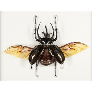 Beetles and Other Insects Rhinoceros Beetle - Male - Wings Spread