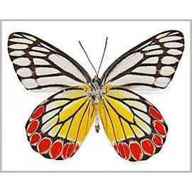 Pieridae Delias eucharis M A1- Sri Lanka