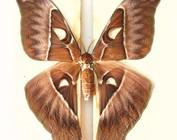 Saturnidae