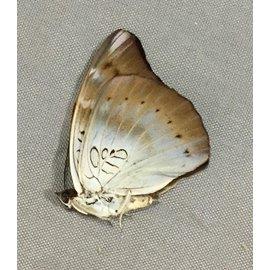 Nymphalidae Euthalia merta schoenigi F A1 Philippines