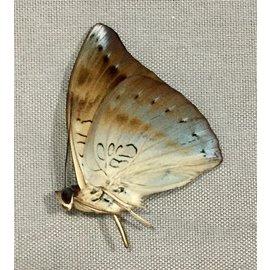 Nymphalidae Euthalia merta schoenigi M A1 Philippines