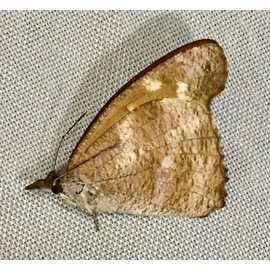Nymphalidae Laringa castelnaui ottonis M A1 Philippines