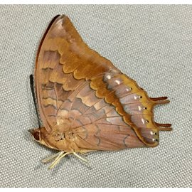 Nymphalidae Charaxes amycus myron M A1 Philippines
