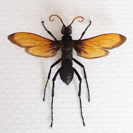 Hymenoptera Pepsis grossa A1 Mexico - 7.0-7.4 cm