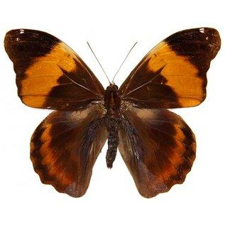 Brassolidae Selenophanes cassiope M A1 Peru