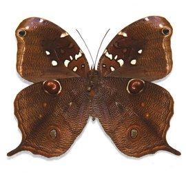 Brassolidae Opoptera aorsa hilara M A1 Peru