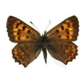 Lycaenidae Lycaena mariposa penrosae F A1 Canada