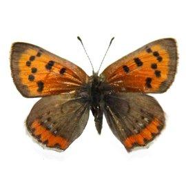 Lycaenidae Lycaena phlaeas arethusa M A1 Canada