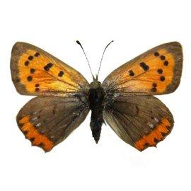 Lycaenidae Lycaena phlaeas arethusa F A1 Canada
