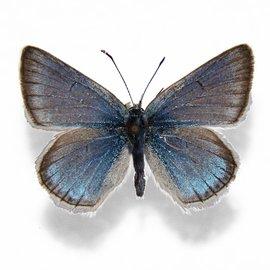 Lycaenidae Plebejus saepiolus amica PAIR A1 Canada