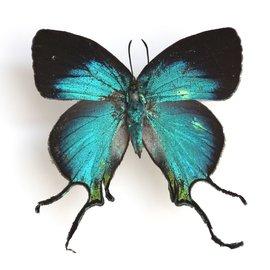Lycaenidae Arcas imperialis F A1 Peru