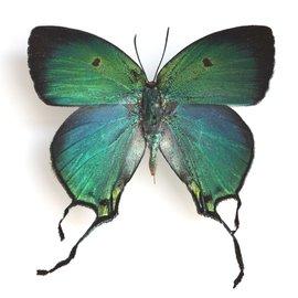 Lycaenidae Arcas tuneta M A1 Peru