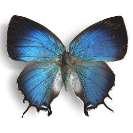 Lycaenidae Evenus ganymedes F A1 Peru