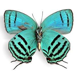 Lycaenidae Evenus tagyra M A1 Peru