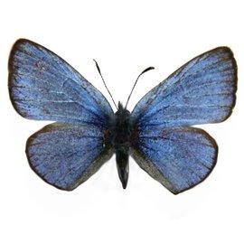 Lycaenidae Glaucopsyche lygdamas afra M A1- Canada